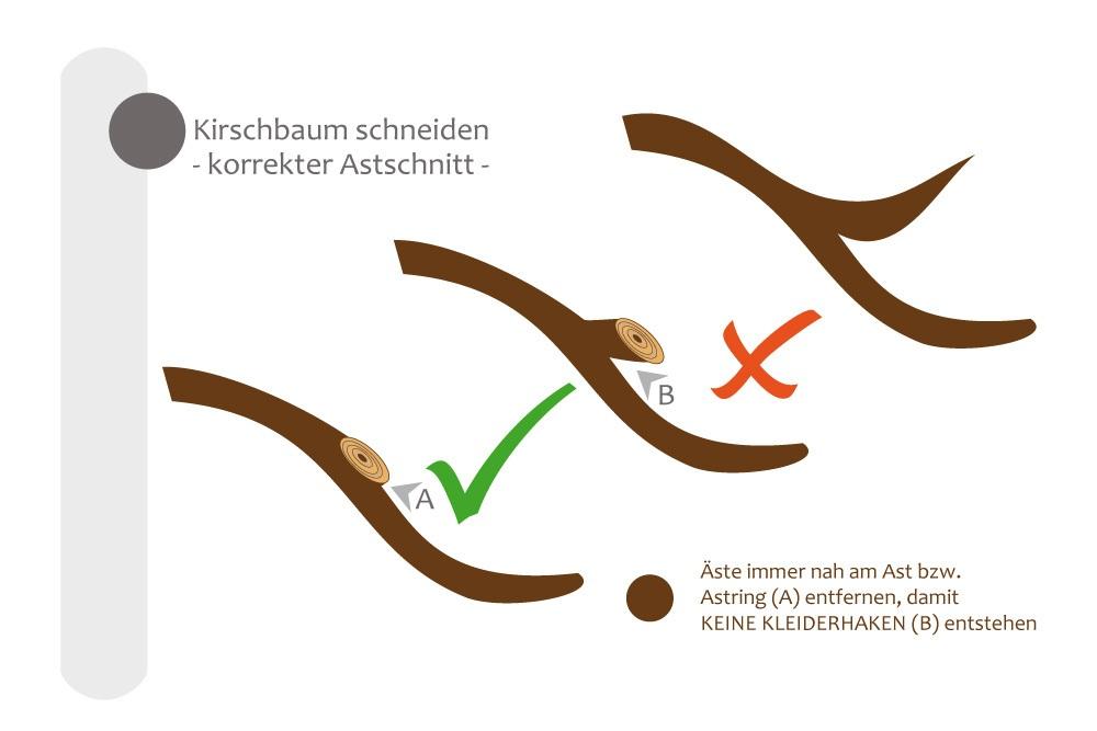 Äste beim Kirschbaum richtig schneiden