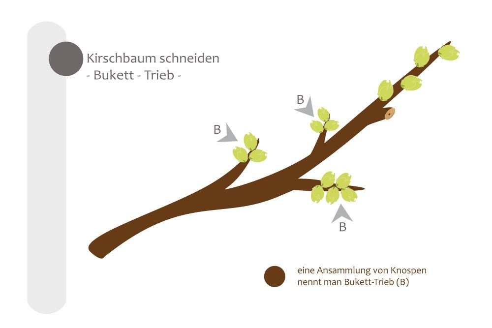 Super Kirschbaum schneiden - bebilderte Anleitung für den Kirschbaumschnitt &YS_98