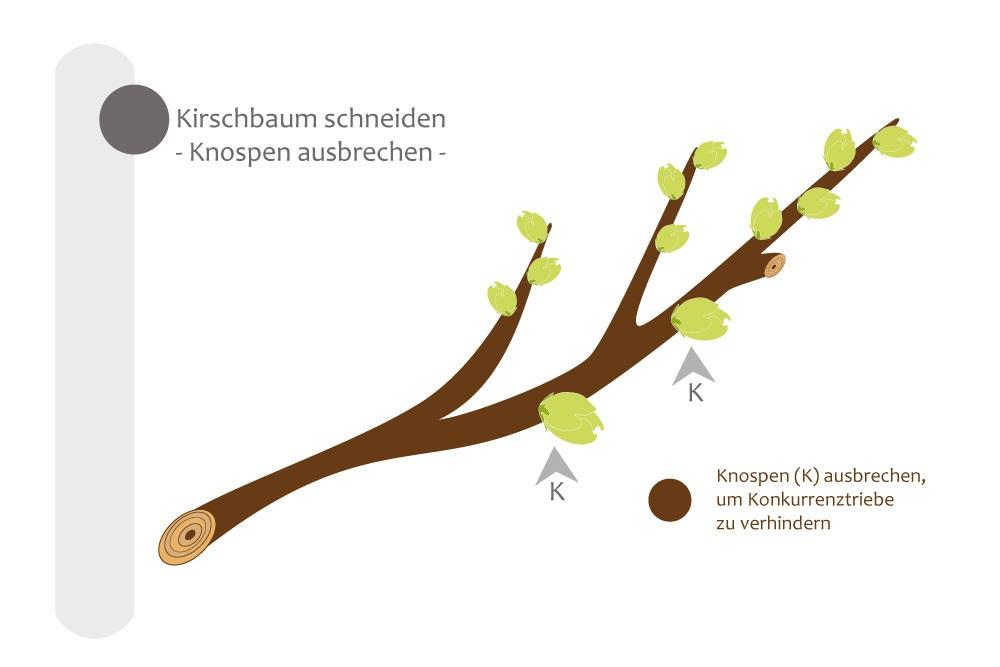 Beliebt Bevorzugt Kirschbaum schneiden - bebilderte Anleitung für den Kirschbaumschnitt &QK_03