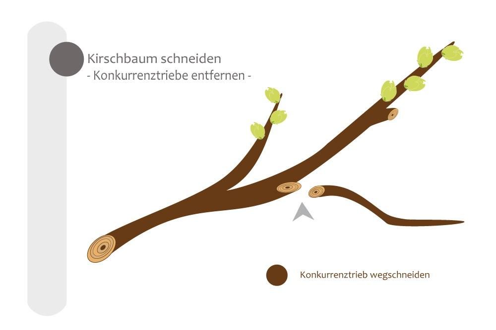 Konkurrenztriebe am Kirschbaum entfernen