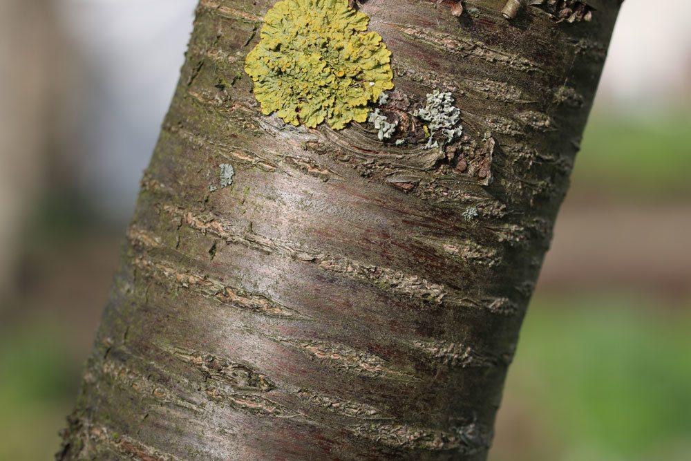 Prunus cerasus, Sauerkirsche