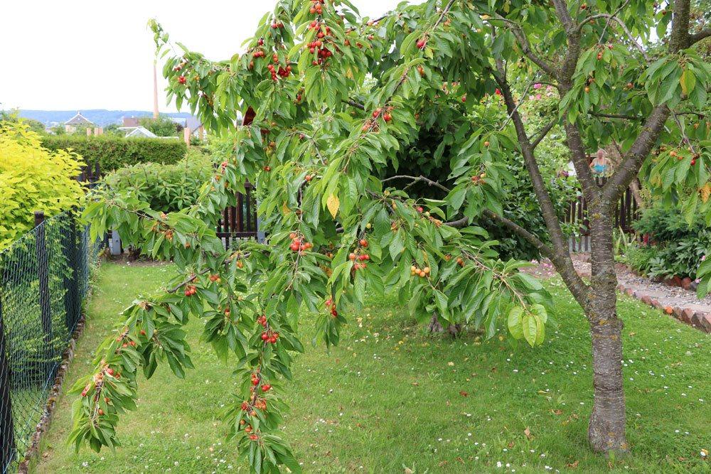 Prunus avium, Süßkirsche richtig schneiden