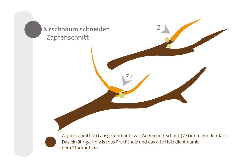 Zapfenschnitt am Kirschbaum