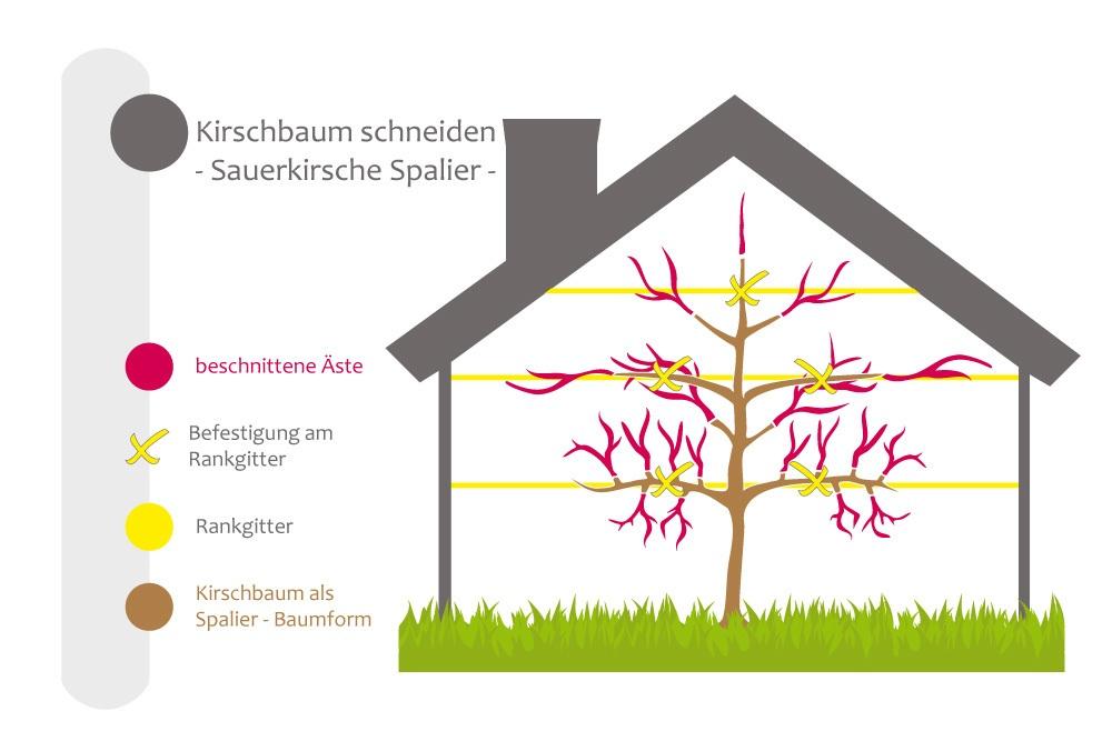 Kirschbaum Schneiden Bebilderte Anleitung Fur Den Kirschbaumschnitt