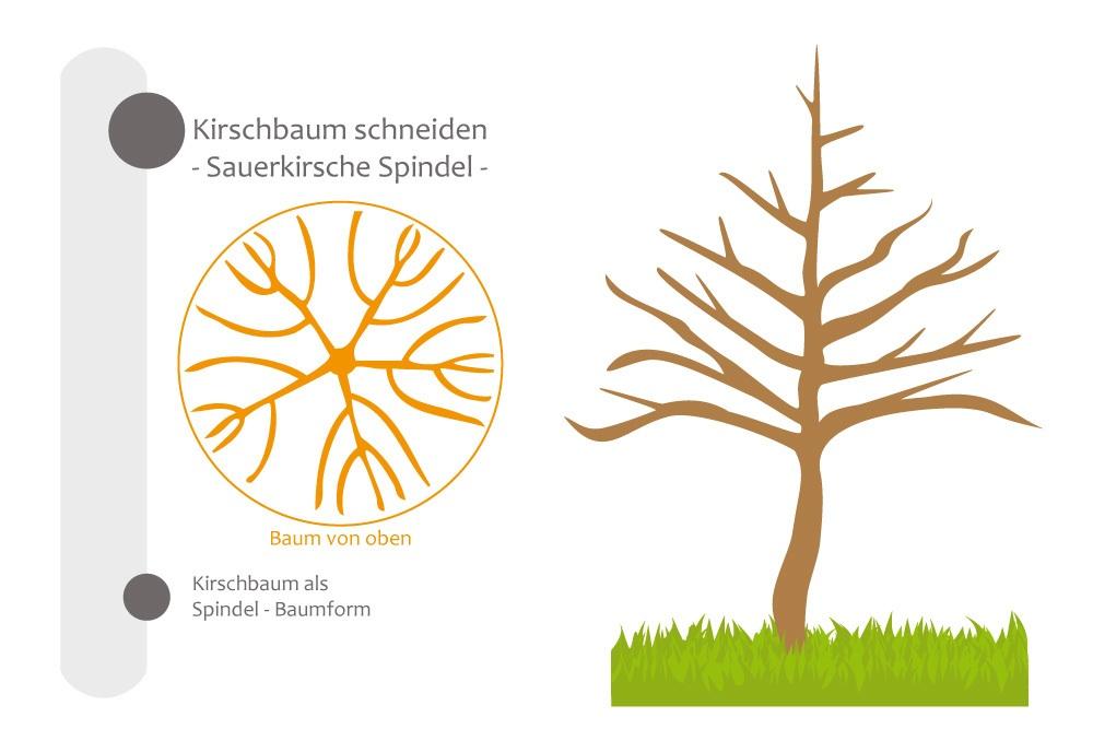 Kirschbaum als Spindelbaum