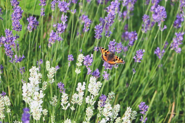 Auch bei Schmetterlingen ist der Lavendel beliebt