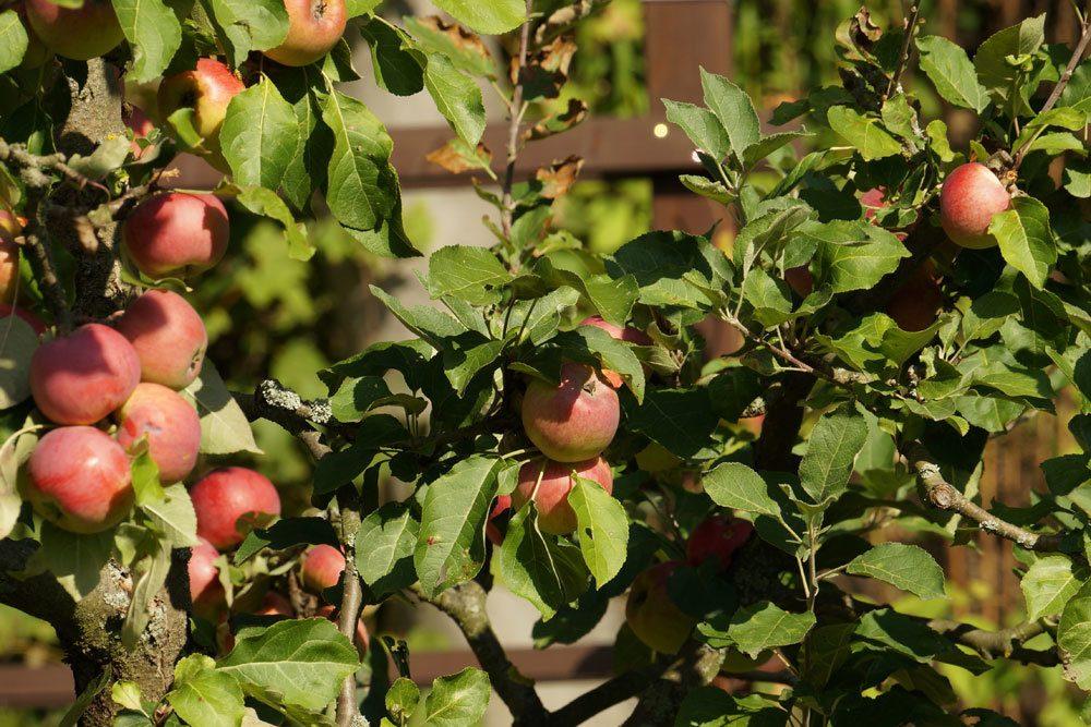 Malus, Apfelbaum