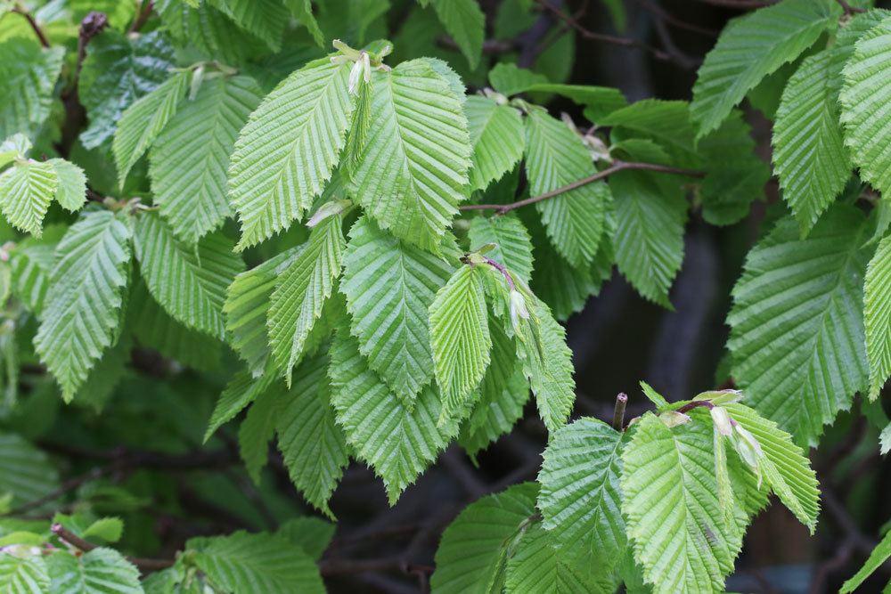 Carpinus betulus, Hainbuche