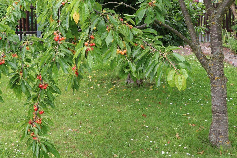 Prunus avium, Süßkirsche