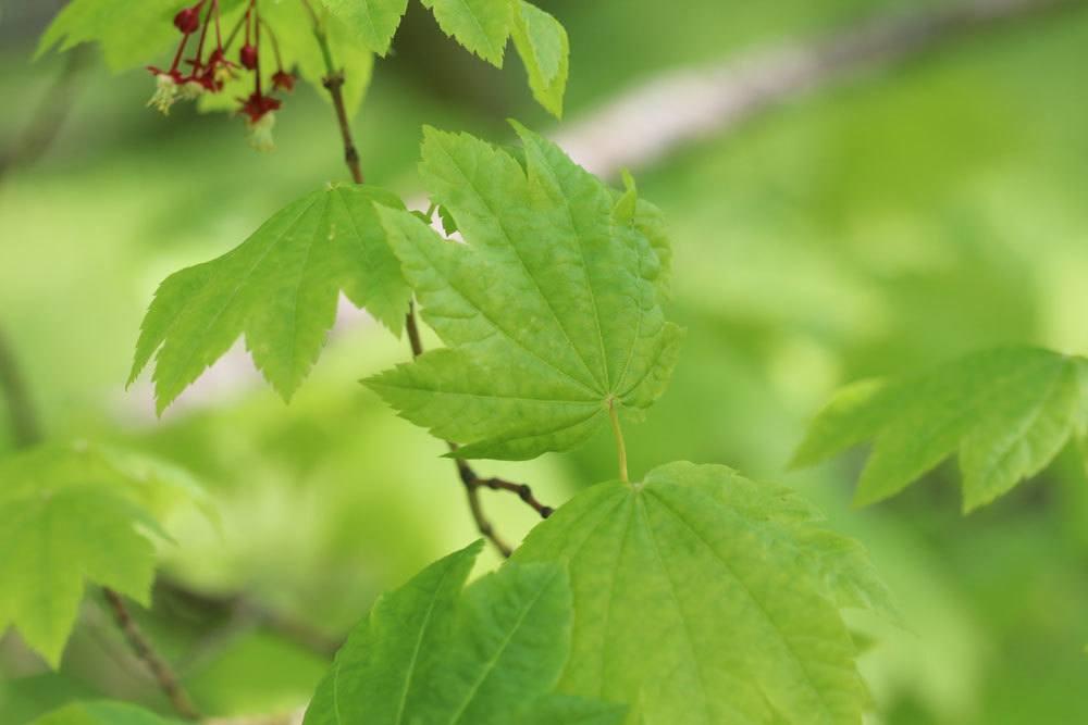Acer circinatum, Weinblatt-Ahorn
