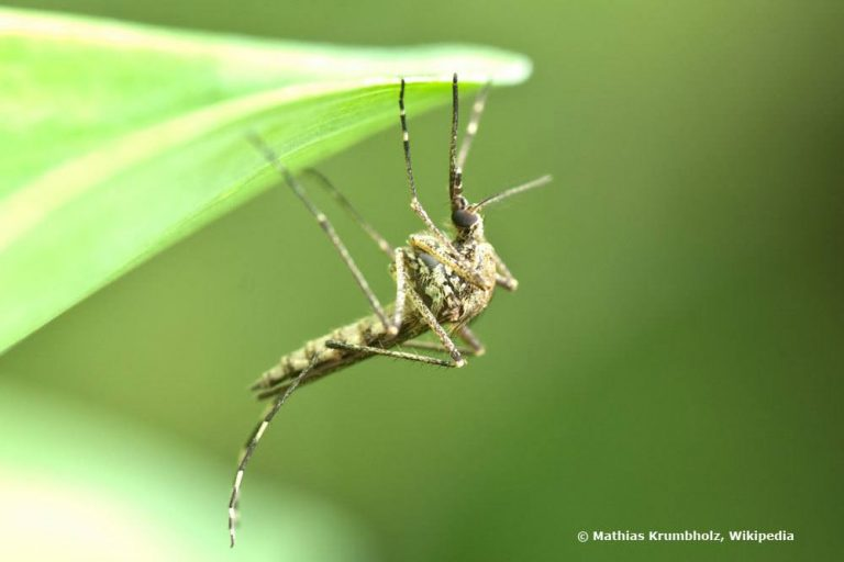Heimische Stechmücken verursachen hohen Juckreiz auf der Haut