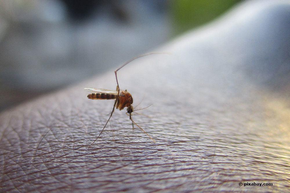 heimische Stechmücken