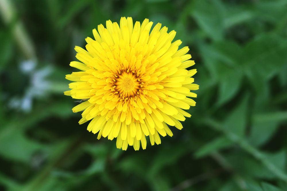 Gelber Blütenkopf der Löwenzahnpflanze