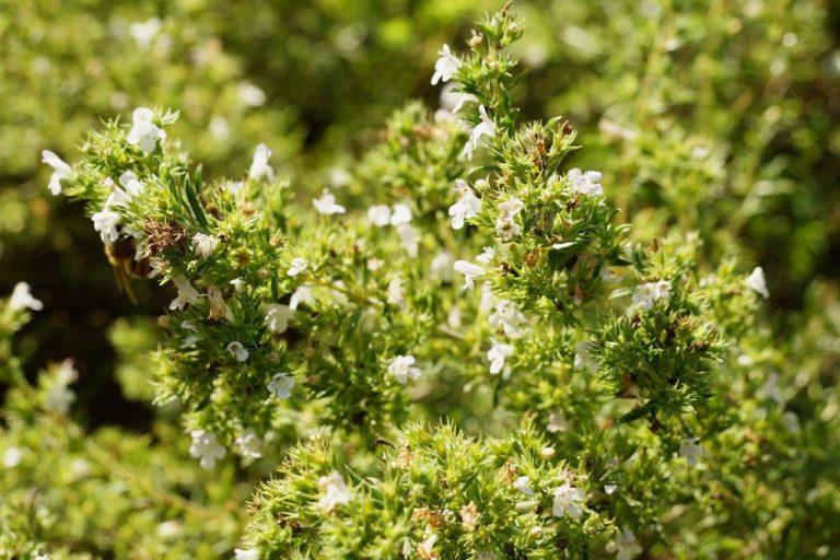 Majoran mit seinen weißen Blüten
