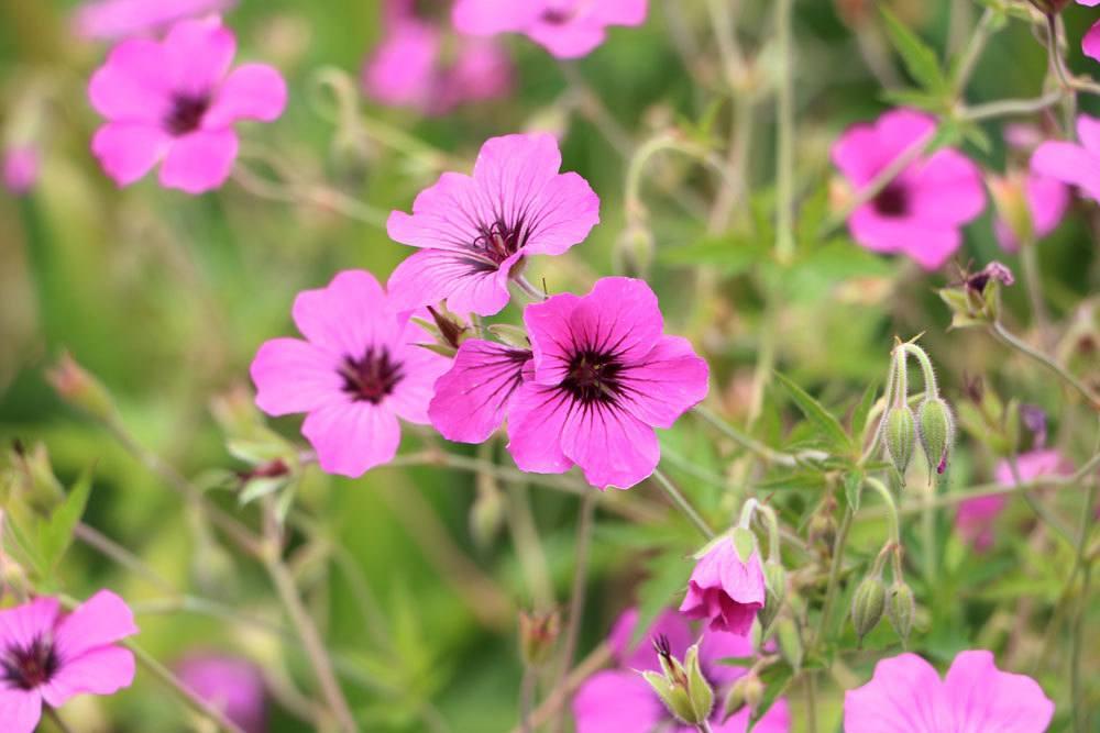 Die Blütezeit der Malve ist von Juni bis September