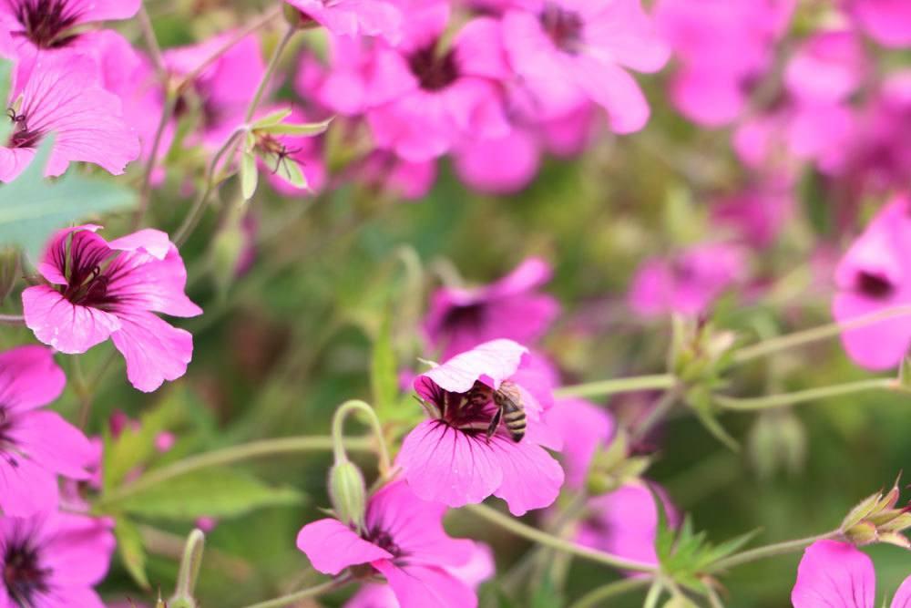 Eine Biene auf der Blüte der Malve