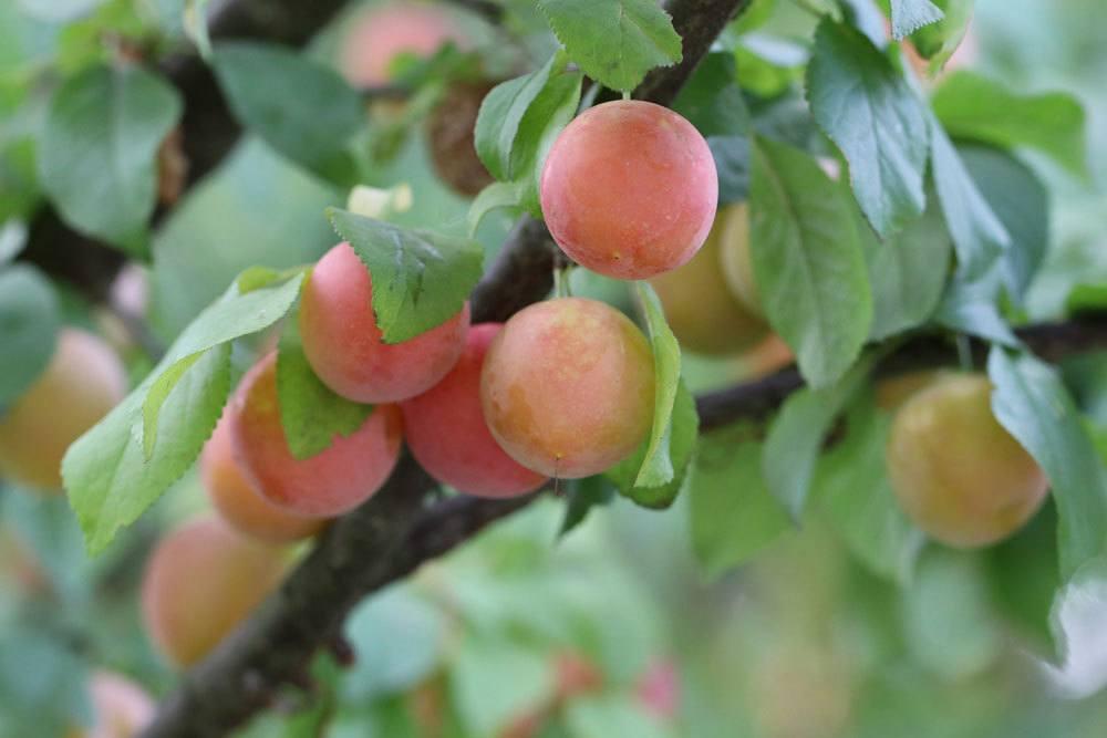 Mirabellenbaumzweig mit Früchten