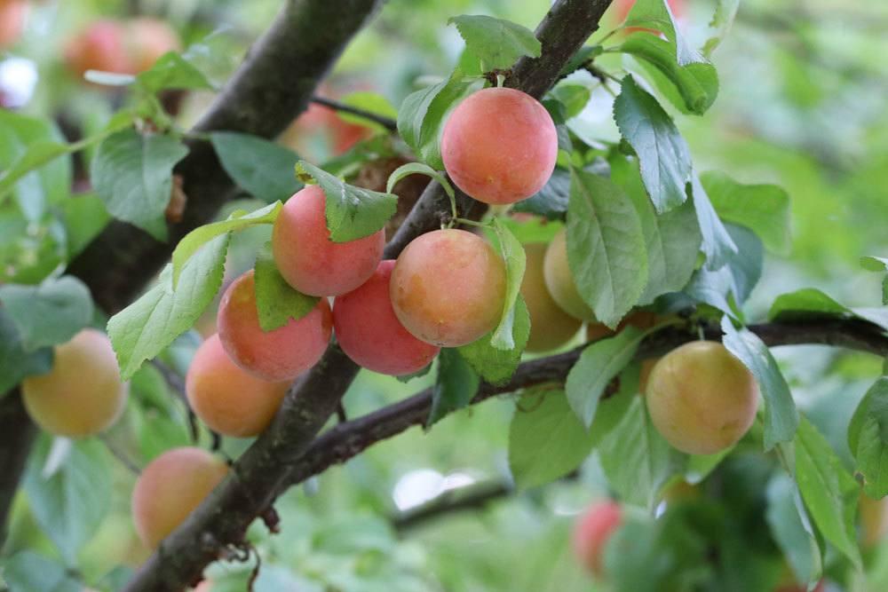 Mirabellenbaum mit Früchten
