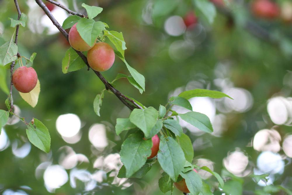 Mirabellenbaum kann im Winter oder Sommer verschnitten werden