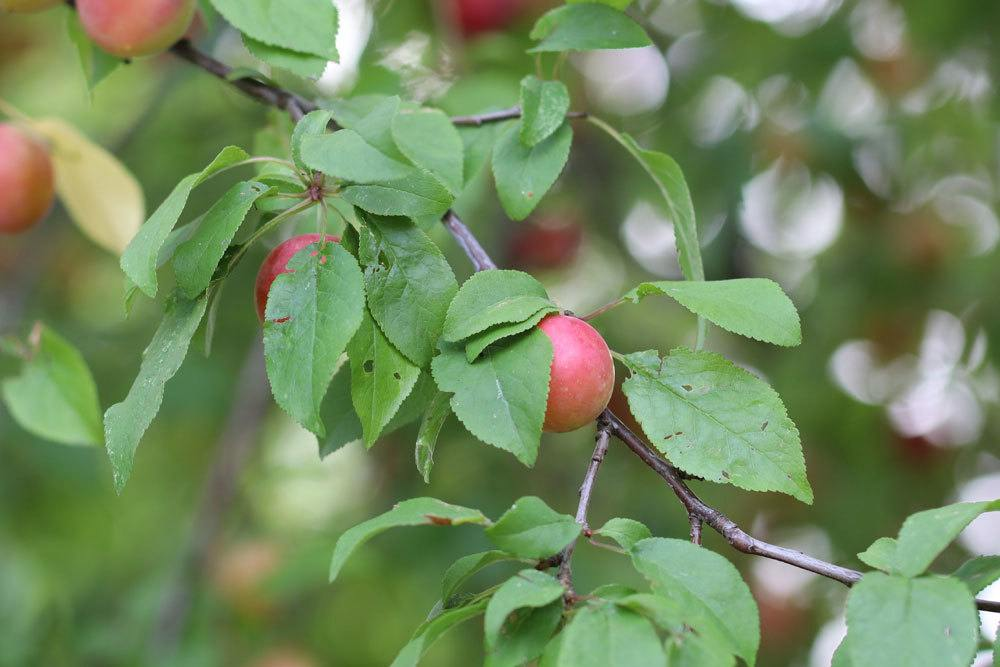 Mirabellenbaum zum richtigen Zeitpunkt schneiden