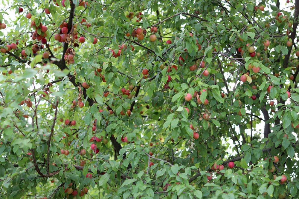 Mirabellenbaum sollte richtig und fachgerecht ausgelichtet werden