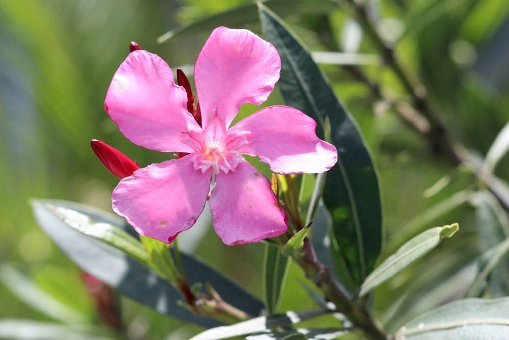 Oleander mit rosafarbener Blüte