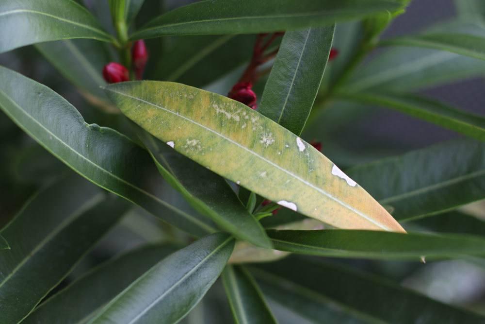 befallene und gelbe Blätter sollten entfernt werden