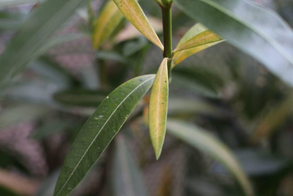 Oleander mit gelben Blättern kann unterschiedliche Ursachen haben
