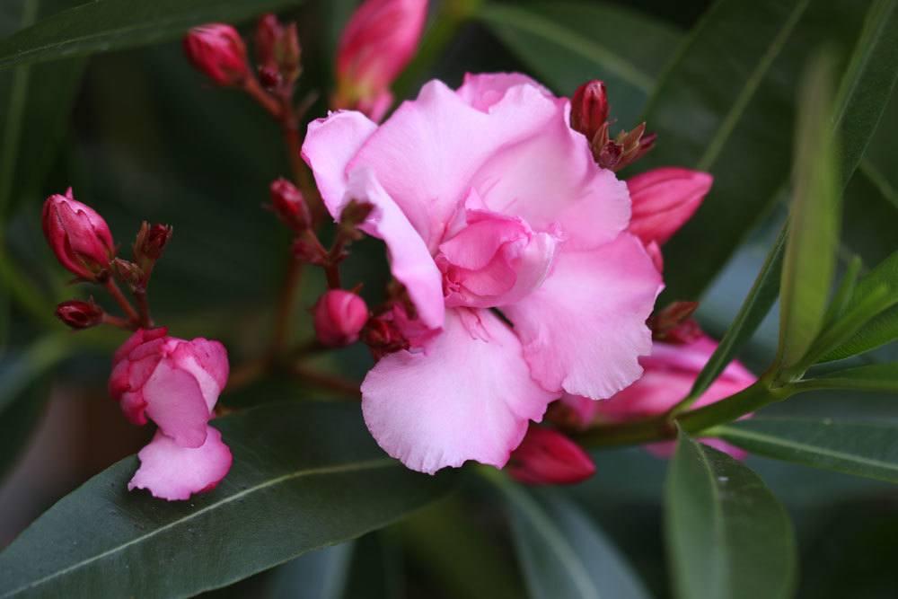 Oleander mit rosa Blüte und Blütenknospen