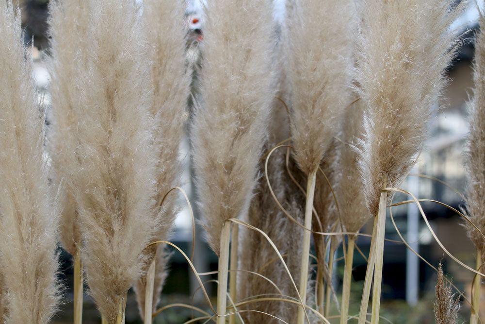 Pampasgrashalme im Winter richtig schützen