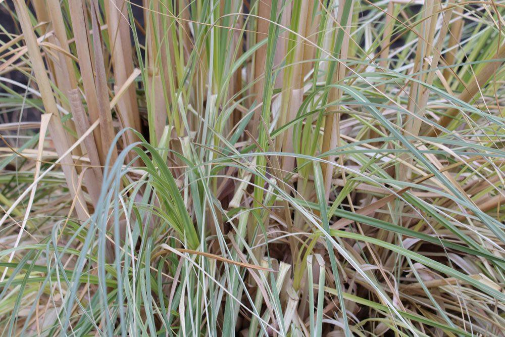 Pampasgras braucht im Winter Wurzelschutz