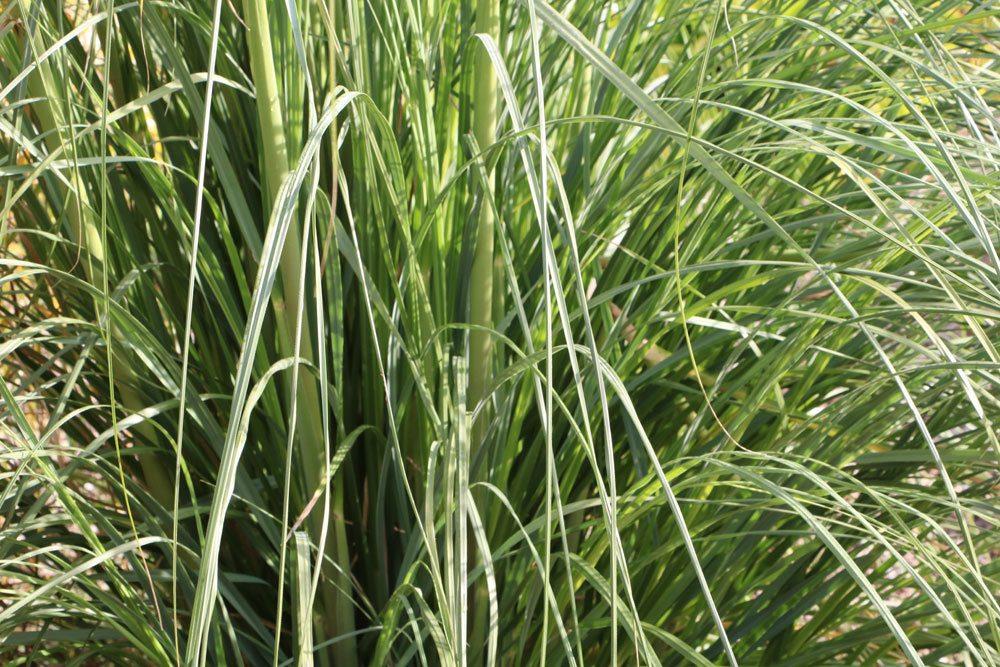 Pampasgras mit seinen langen, schmalen Blättern