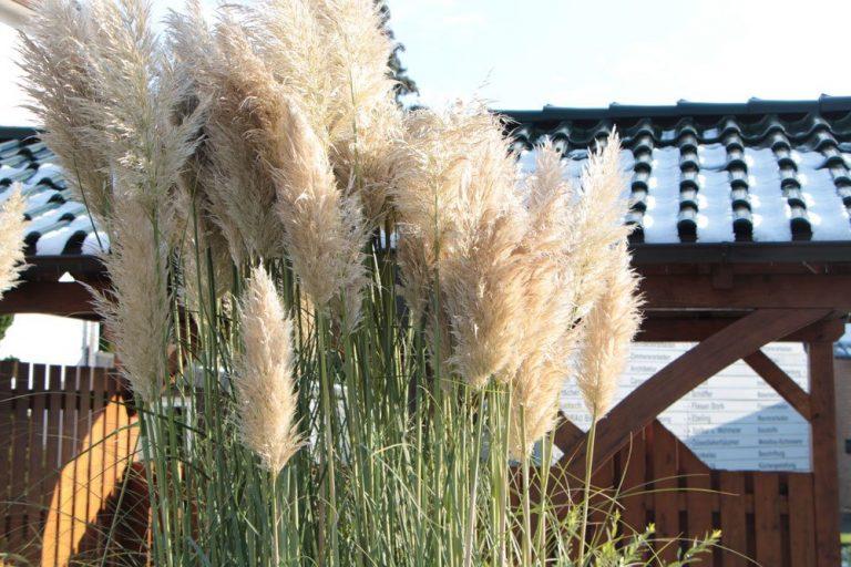Pampasgras ist eine äußerst dekorative Pflanze