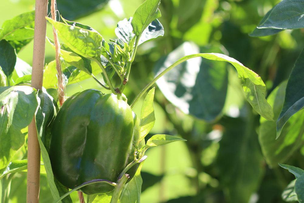 Paprika-Pflanzen können ungefähr Anfang März wieder nach Draußen