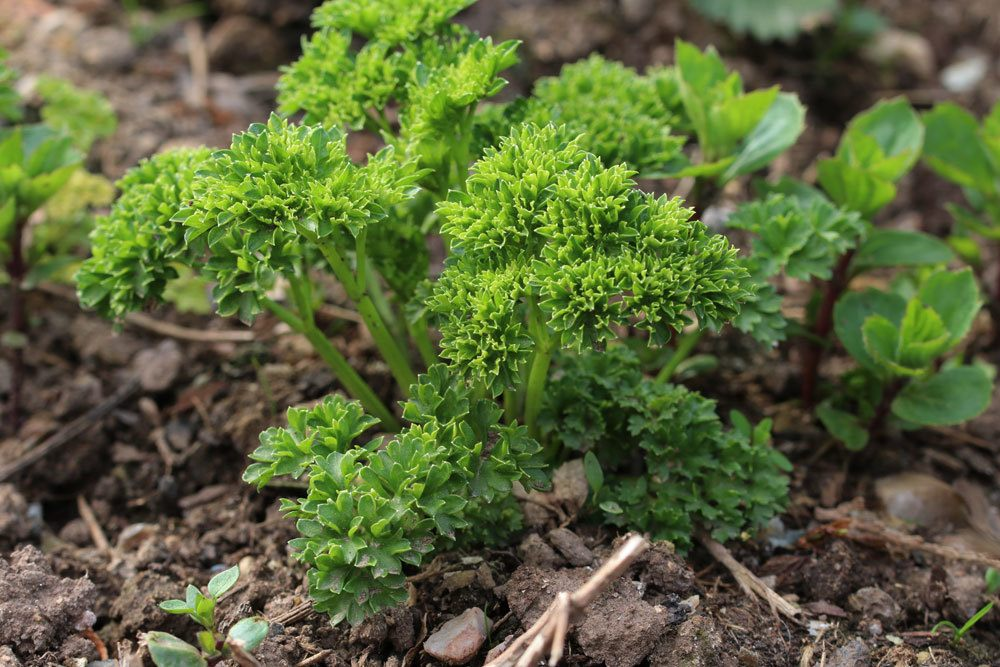 Petersilie ist eine zweijährige Pflanze