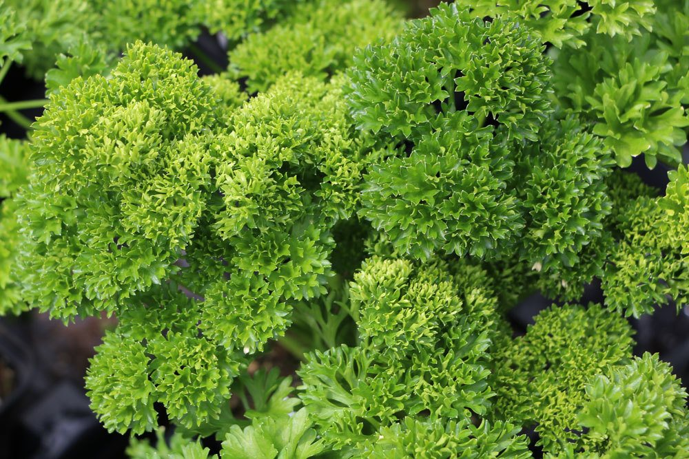 Petersilie bevorzugt frische und nährstoffreiche Böden