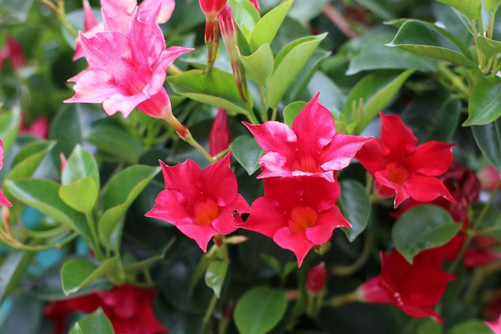 Dipladenia (Mandevilla) als Pflanze für volle Sonne