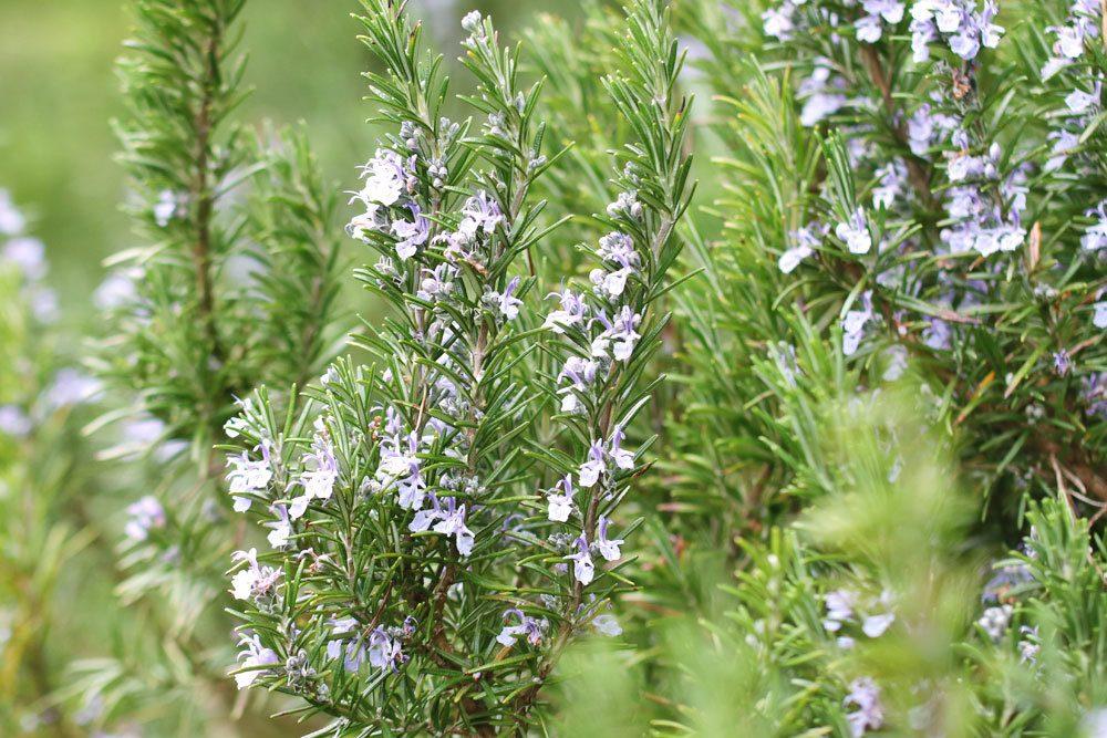 Rosmarin mit seinen kleinen Blüten