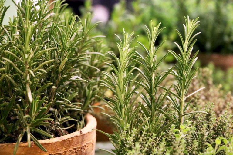 Rosmarin als Topfpflanze