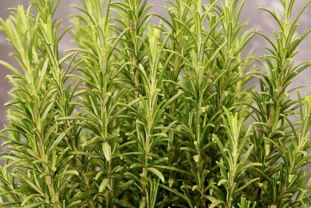 Rosmarin ist eine wertvolle Heilpflanze