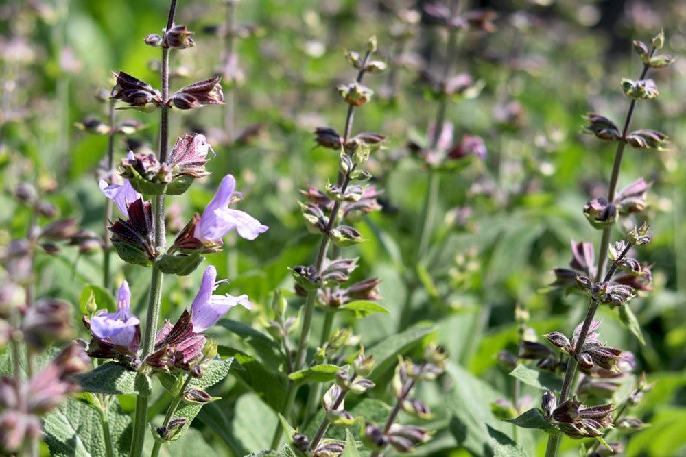 Garten-Salbei, Salvia officinalis