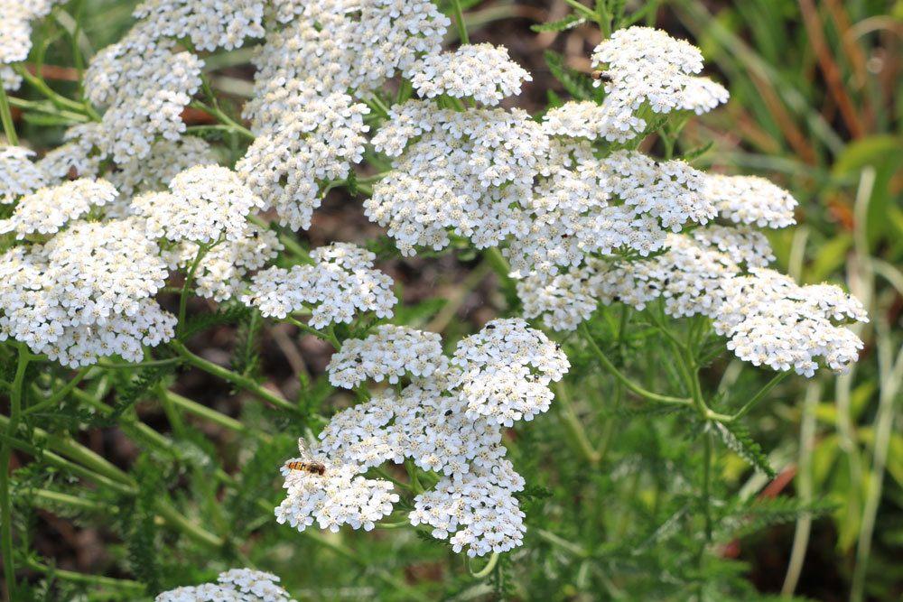 Schafgarbe ist eine aromatische Gewürzpflanze