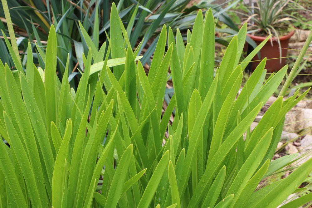 Agapanthus mit seinen länglichen, grünen Blättern