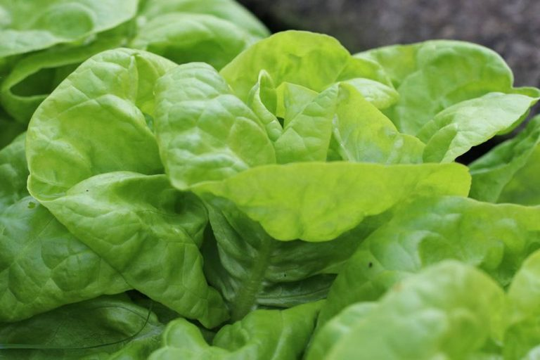 Schnittsalat/Pflücksalat ernten, hier Kopfsalat