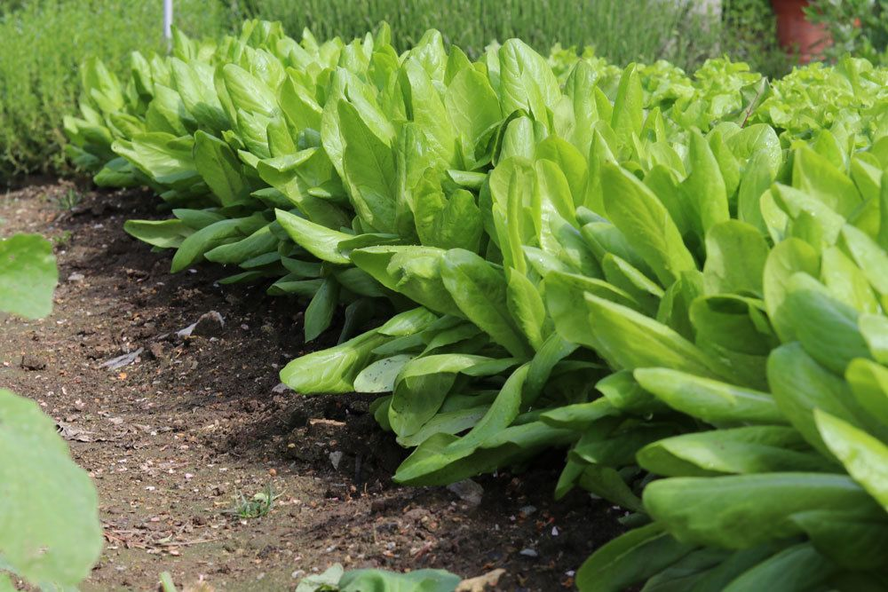 Lactuca sativa var. crispa, weißer Salat, Schnittsalat, Pflücksalat