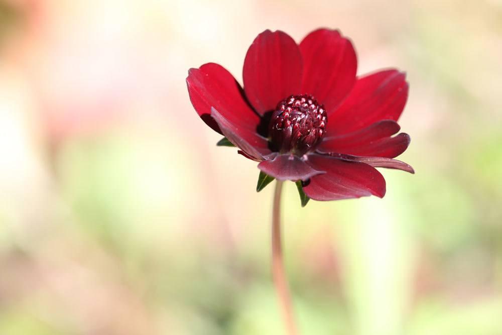 Schokoladenblume kann auch im Kübel überwintert werden