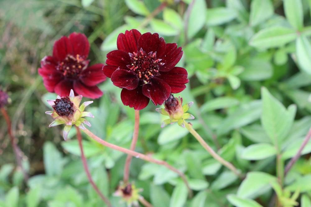 Schokoladenblume richtig überwintern