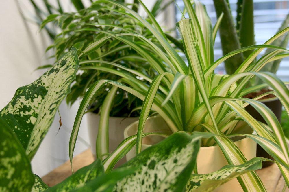 10 sonne liebende zimmerpflanzen pflanzen f r die - Standort zimmerpflanzen ...