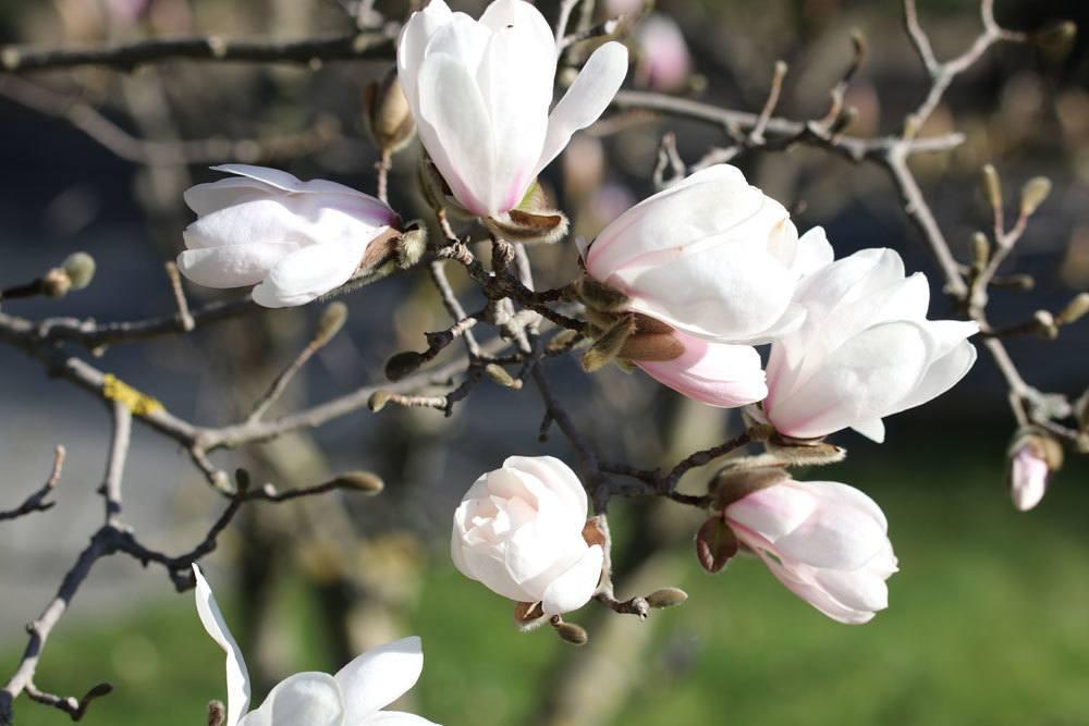 Etwas Neues genug Der ideale Standort einer Magnolie | Was Magnolienbäume lieben @YK_67