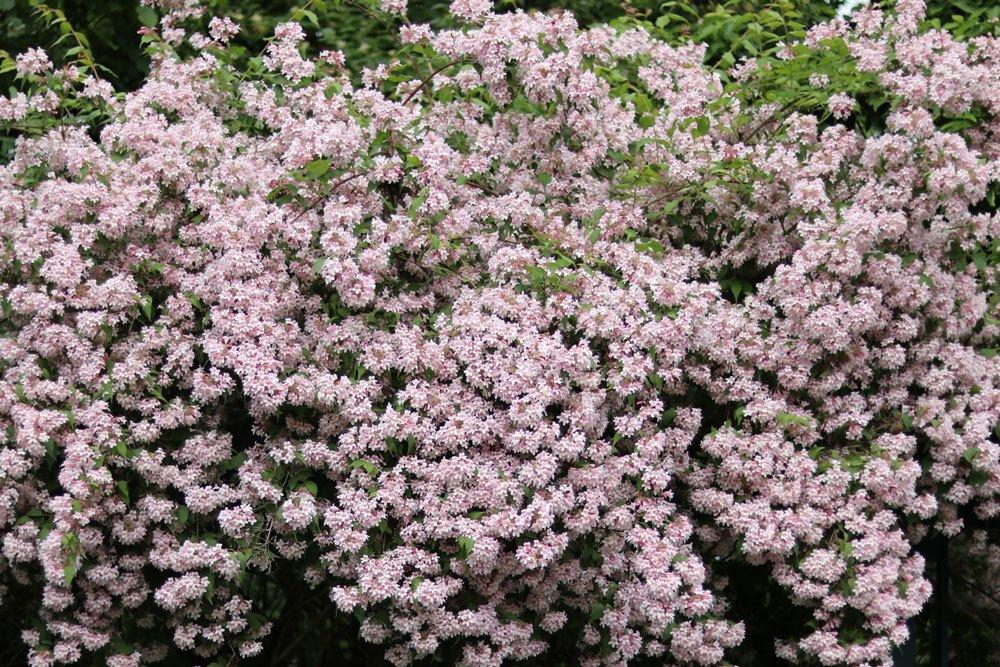 Linnaea amabilis, Kolkwitzie, Perlmuttstrauch